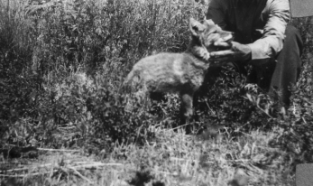 Ralph Chew's pet coyote, Otta, 1943, Copyright 2008 Uintah County Library
